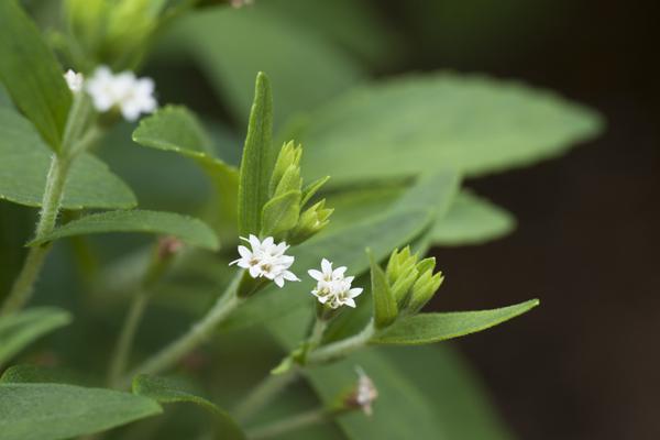 ハーブの自然な甘みと低カロリーが魅力というステビアの花