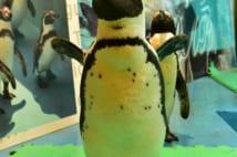 かわいいペンギンがお出迎え 東京初「ペンギンのいるBAR」