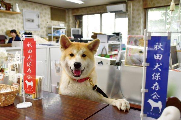 秋田犬保存会の受付嬢・ぷーこ