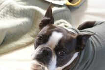 「ブルセラ症」って?獣医師も感染した動物由来の病気を解説