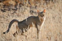 """野生のリビアヤマネコ。現代の""""飼い猫""""や野良猫などと比べ足が長く、体も少し大きい。牛、豚などほかの家畜と違い、猫は自ら人間社会に近づき家畜化された(写真/Getty Images)"""