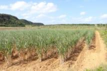 沖縄・与那国島のサトウキビ畑