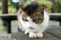 避妊・去勢手術済みの野良猫は、耳がV字にカットされている。これは野良猫が増えすぎないための、ボランティア活動の一環で、全国に広まりつつある(麻酔が効いている時に切るので、痛みはないという。写真/GettyImages)
