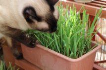 猫草の種類として最もポピュラーなのが「燕麦」。イネ科の植物で、ビールやウイスキーなどの原料としても使われる