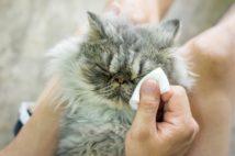 猫の目に異常があったらそれは…(写真/GettyImages)