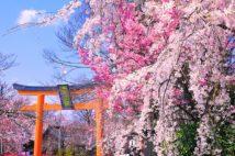 京都の春の訪れを告げる早咲き桜