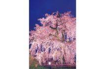 中村獅童おすすめ 京都・八坂神社~円山公園の豪華絢爛な桜