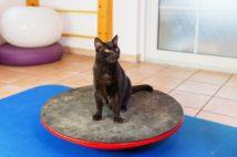 バランスボードを使用してトレーニングをする猫(Ph:Getty Images)