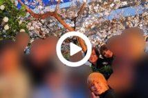 """【動画】安倍昭恵氏、花見自粛の渦中に私的な""""桜を見る会""""写真"""