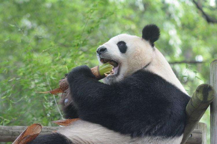 父・リーリーのたくましい食事姿。太い笹もガブリ(写真提供/東京動物園協会)