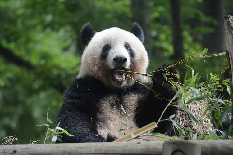 シャンシャンも親と見分けがつかない程立派な大人に成長(写真提供/東京動物園協会)