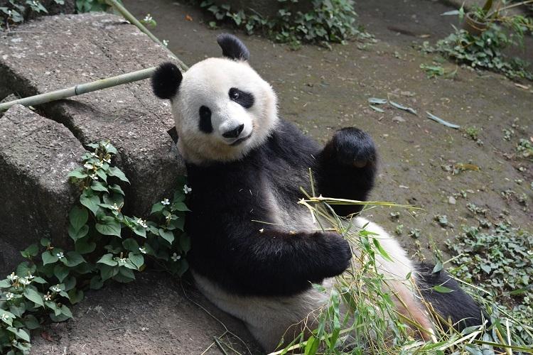 シンシンがやさしい顔でほほ笑む(写真提供/東京動物園協会)