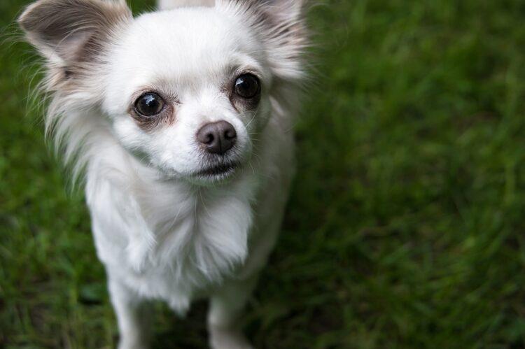 かつてほどではないが今も人気犬種のチワワ(イメージ)