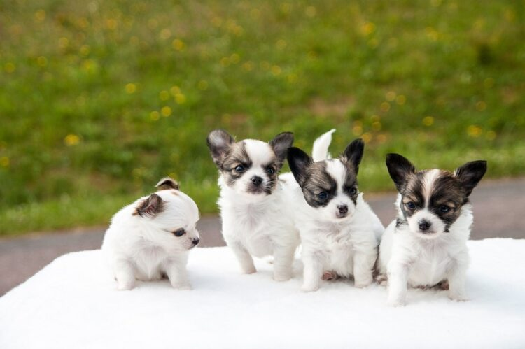 チワワの子犬たち。チワワに限らず子犬、子猫ほど人気が高い(イメージ)