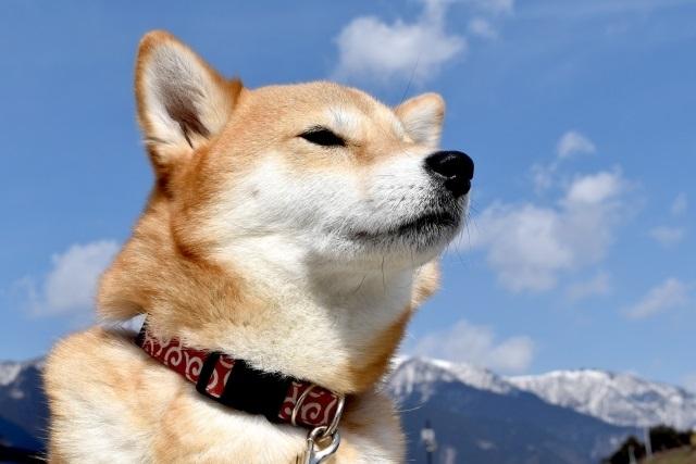 柴犬も人気犬種のひとつ(イメージ)