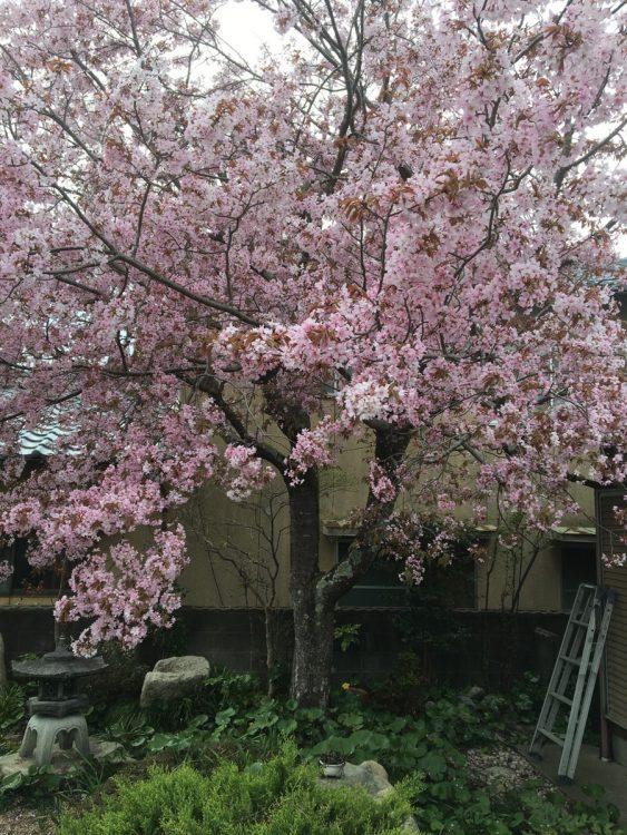 故郷・滋賀県の実家にある桜の木の下に遺骨の一部が眠っている