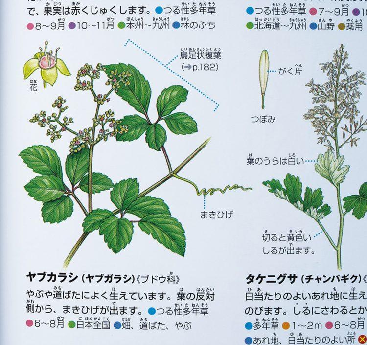 『小学館の図鑑NEO [新版]植物』(2018年刊)のヤブカラシ