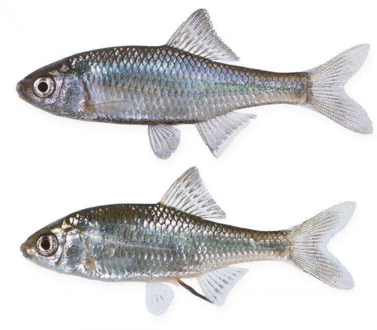 『小学館の図鑑NEO [新版]魚』(2015年刊)に掲載されている松沢さんの標本写真、タナゴ